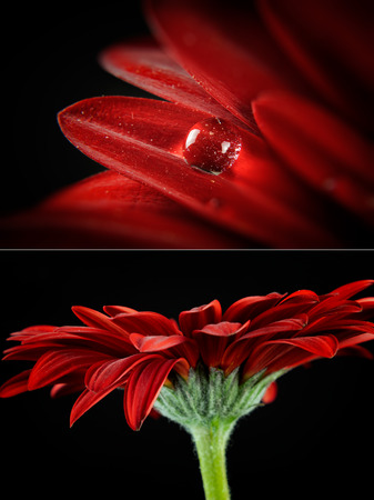 Red gerber in bloosom on the black background. Macro photo from nature.  Detail photo flower. Macro photo with drop.
