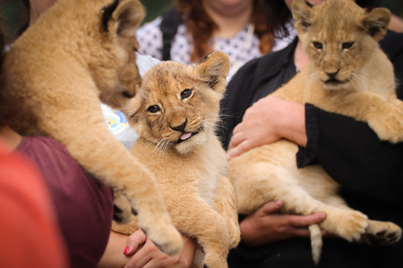 Three babies lion in hand. Photo from animals, which living in captivity. Wild cat feline. Little nice animal.