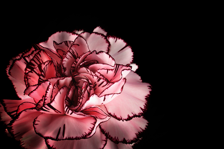 Proposal flower for greeting card. Carnation on the pink background. Stock fotó