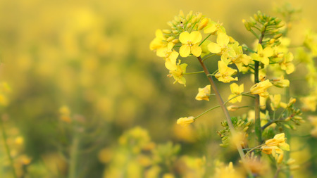 Detail oilseed rape. Detail flower for agriculture. Detail field oilseed.