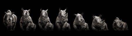 Moving rhino monochrome. Gradually position in black and white colour. Animal rhino in black. Monochrome portrait.