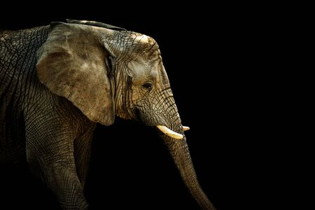 African elephant on the black. Photo with place for your text. Profil elephant. Picture from animal live.