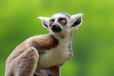 Baby ring-tailed lemur on the green background. Portrait ring-tailed lemur. A little, prety, famous, nice monkey