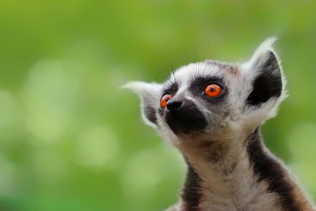 Little popular monkey - lemur on the green backtround. Photo from animal world. Monkey from madagascar.