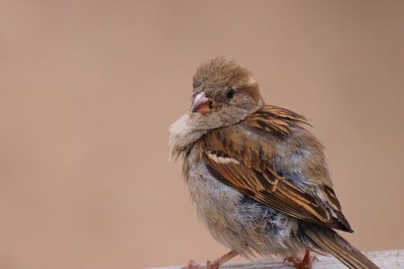 Sparrow with ruffled feathers. Little popular bird. Phtoto from animal world.