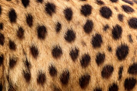 Colour Texture fur cheetah. Photo from animal world. Natural texture.
