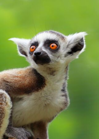 Portrait ring-tailed lemur. Photo from animal live world. Detail face popular monkey.