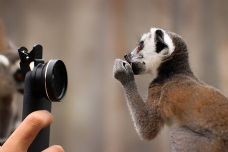 Baby ring-tailed lemur with camera. Photo from animal world. Funny child monkey. Stock fotó