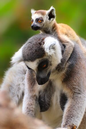 Adult lemur with baby lemur. Portrait ring-tailed lemur. Photo from animal live world. Detail face popular monkey. Stock fotó