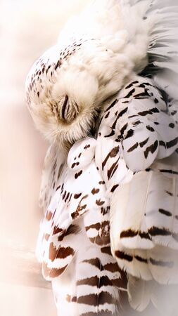 Sleep snow owl. Snow owl in dream. Portrait from animal world. White stories owl. Stock Photo