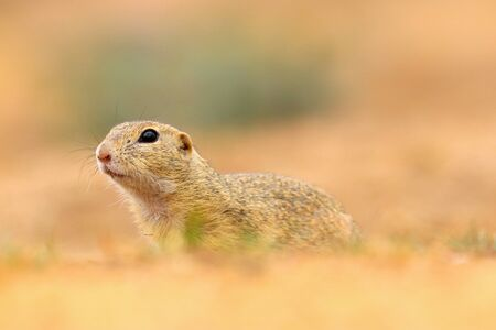 Portrait little suslik in nature. Photo from wild nature.  Poster rodent with blur background.