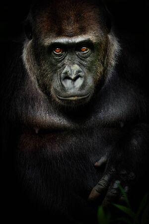 Gorila hembra de cartel oscuro. Retrato mono gorrila en color negro. Foto de animal vivo. Foto de archivo