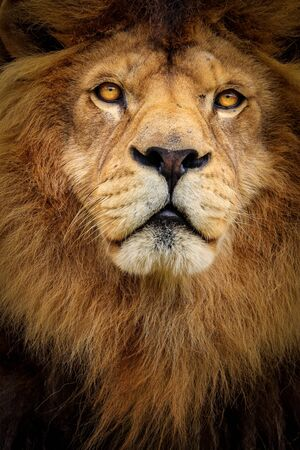 Detail portrait lion. Face lion. Photo from animal world. Photo in high quality.