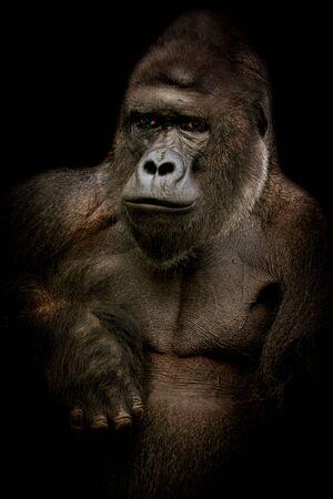 Male gorilla in black. Dark poster with popular animal. Photo from animal live. Foto de archivo