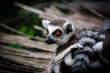 Portrait lemur - monkey from madagaskar	. Photo from animal live. Picture with place for your text. Banco de Imagens - 132356254