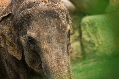 Photo from animal live. Portrait indian eleptant.