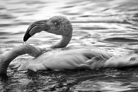 Flamant rose dans l'eau. Portrait noir et blanc. Photo d'un animal vivant.