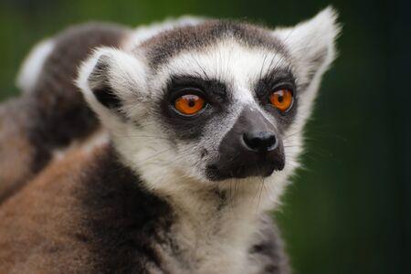 Portrait popular monkey lemur catta. Detail lemur face on the green background. Stok Fotoğraf