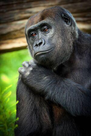 Poster female gorilla. Photo take from zoo.