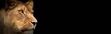 fond d'écran couleur lionne. Lionne sur le noir. Animal de portrait sur le fond noir Banque d'images