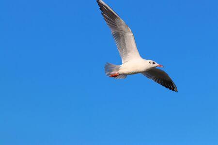 Seagull bird fly on the blue sky. Bird is flying.