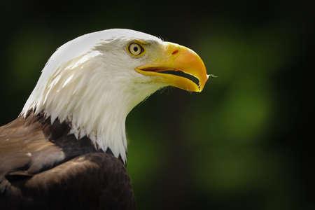 Portrait of american eagle on the green background (Haliaeetus leucocephalus)