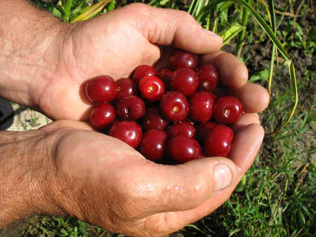 Ripe cherries in man hands Stock Photo - 7491455