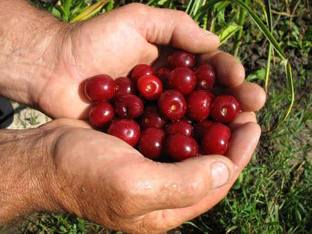Ripe cherries in man hands photo