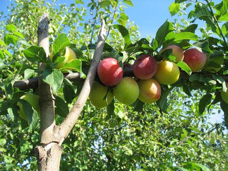 edibles: Una bella maturi prugne giallo sul ramo.