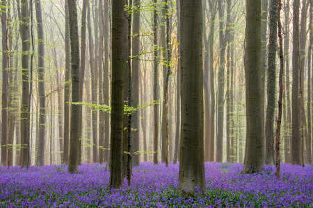 Sunrise in Hallerbos, the well known forest with blue bells from Belgium