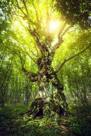 魔法の木。クリミア自治共和国の森の美しい春の日の出