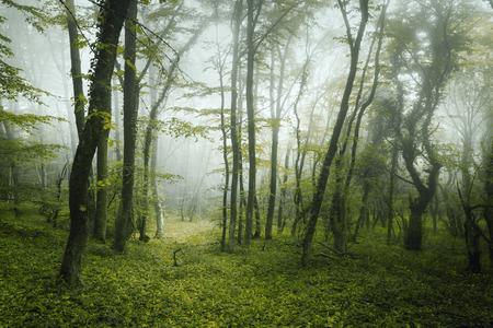 緑の葉と花を持つ霧の中で神秘的な暗い森をトレイルします。クリミア半島の春の朝。幻想的な雰囲気。おとぎ話