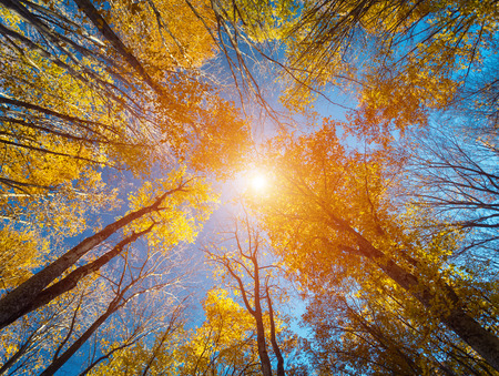 naranja arbol: Bosque del otoño. Patrón de árboles. Mirando el cielo azul. La naturaleza de fondo