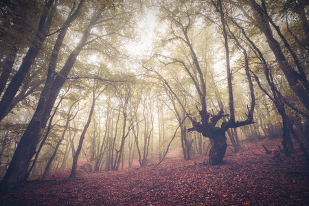 fog foggy: Mysterious dark old forest in fog. Autumn morning in Crimea. Magical atmosphere. Beautiful natural landscape. Vintage style Stock Photo