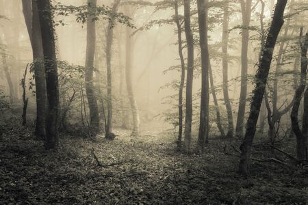 mysteries: Mysterious dark old forest in fog. Spring morning in Crimea. Magical atmosphere. Beautiful natural landscape. Vintage style Stock Photo
