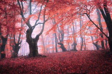 Beautiful magic red forest in fog in autumn. Fairytale landscape.