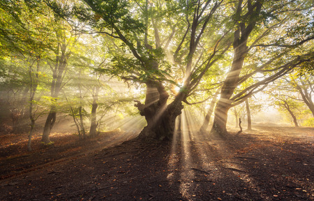 Magical old tree with sun rays in the morning. Forest in fog. Colorful landscape with foggy forest, sun, green leaves at beautiful sunrise. Fairy misty forest in autumn. Nature. Enchanted tree.