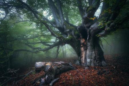 Wald im Nebel. Mystischer Herbstwald im Nebel am Morgen. Alter Baum. Schöne Landschaft mit Bäumen, bunten Blätter und Nebel. Natur Hintergrund. Foggy Wald mit magischen Atmosphäre Standard-Bild