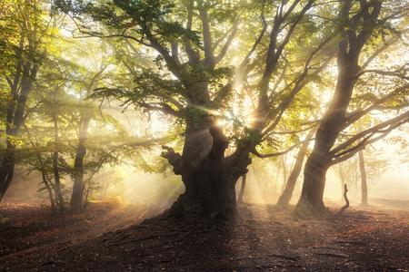 Magische alte Baum mit Sonnenstrahlen am Morgen. Wald im Nebel. Bunte Landschaft mit nebligen Wald, Sonne, grüne Blätter am schönen Sonnenaufgang. Fee nebligen Wald im Herbst. Natur. Verzauberte Baum. Standard-Bild