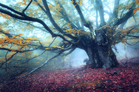 Forest in fog. Old magical tree with big branches and yellow leaves. Mystical autumn forest in blue fog. Old Tree. Beautiful colorful landscape with fall wood. Nature background. Foggy forest.