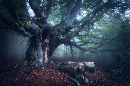 古い木。霧の森。秋の木に。朝の霧の中で神秘的な秋の森。木、ログ、カラフルな葉や霧と美しい風景。自然の背景。不思議な雰囲気を持つ霧の森