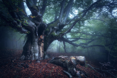 Old Tree. Forest in fog. Fall wood. Mystical autumn forest in fog in the morning. Beautiful landscape with trees, log, colorful leaves and fog. Nature background. Foggy forest with magic atmosphere