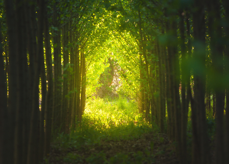 Walkway through tree tunnel at sunset. Colorful landscape with path, trees, plants, green foliage and yellow sunlight. Spring woods. Nature background with forest. Grove