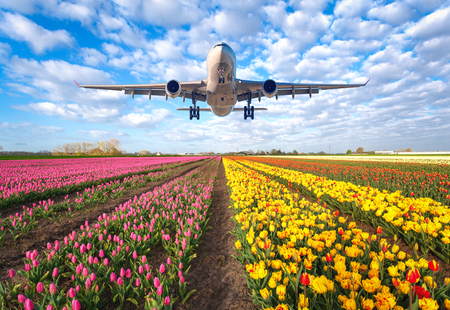 Airplane. Landscape with passenger airplane is flying in the blue sky with clouds over the flowers field at colorful sunset in Netherlands. Passenger airliner is landing. Commercial plane and tulips