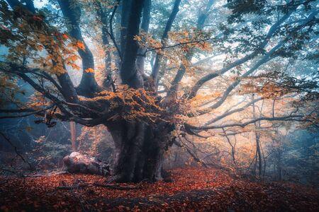 Stare magiczne drzewo z dużymi gałęziami i pomarańczowymi liśćmi w niebieskiej mgle w deszczu. Kolory jesieni. Mistyczny mglisty las. Krajobraz z bajkowym lasem jesienią. Kolorowy krajobraz z pięknym mglistym starym drzewem