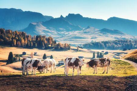 Beautiful cows and calves on the meadow with green grass at sunset in autumn in Alps. Landscape with herd of cows in mountain valley, colorful trees on the hills in fall in Italy. Animals and nature
