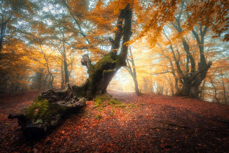 Trail in beautiful forest in fog at sunrise in autumn. Colorful landscape with enchanted trees with orange and red leaves. Scenery with pathway in dreamy foggy forest. Fall colors in october. Nature