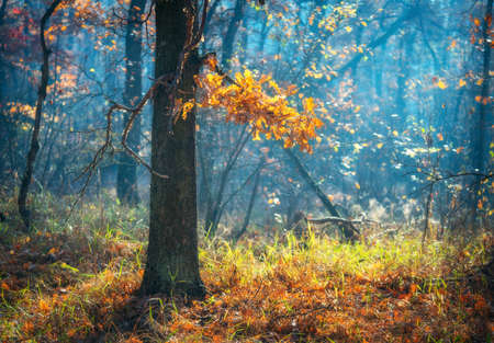 Beautiful tree with orange leaves in fog at sunrise in autumn. Colorful landscape with enchanted forest with multicolored leaves and green grass. Dreamy foggy forest. Fall colors in october. Nature Zdjęcie Seryjne