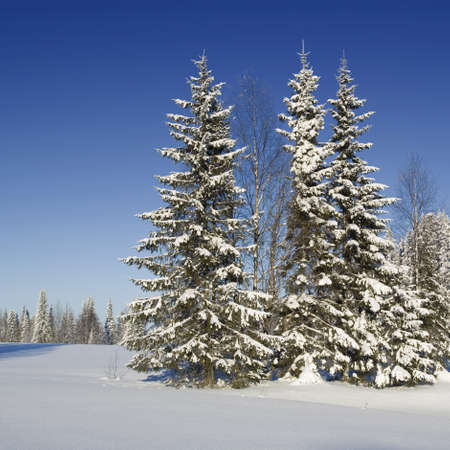 Fir trees covered with snow photo