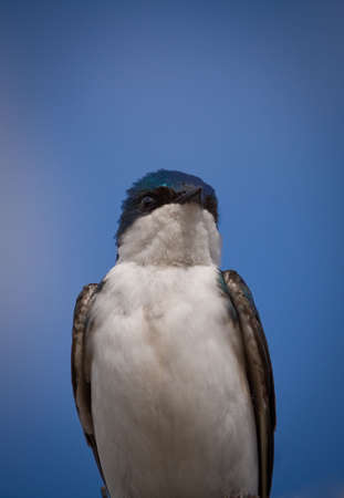 A beautiful Tree Swallow, Tachycineta bicolor, is bathing in the sun by a clear and warm day of May. Quebec, Canada. 版權商用圖片